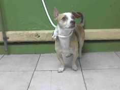 MUNECO - located at L.A. COUNTY ANIMAL CARE CONTROL: CARSON SHELTER in Gardena, CA - Adult Male Chihuahua/Terrier Mix