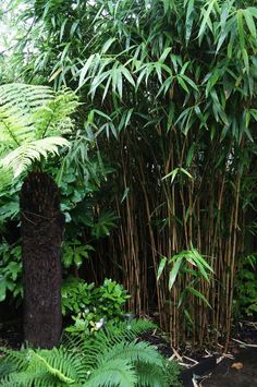 black bamboo, ferns and tree ferns