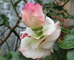 1 year after the nuclear leak and earthquake in Japan, a rose within a rose.
