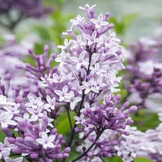 Korean Lilac Trees for Sale | FastGrowingTrees.com Patio Fruit Trees, Patio Plants, Trees To Plant, Garden Plants, Spring Blooming Trees, Blooming Plants, Evergreen Shrubs, Flowering Shrubs, Dwarf Korean Lilac Tree
