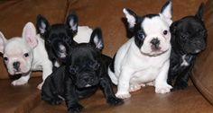 French bulldogs, awwwww snuggley things
