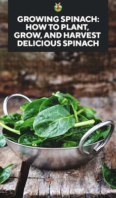 Growing Spinach: How to Plant, Grow, and Harvest Delicious Spinach