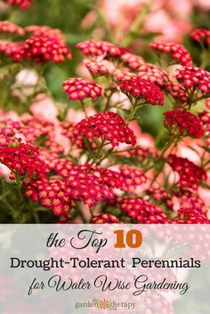 Think that drought-tolerant plants are just cacti? Think again! The top 10 drought-tolerant perennials to grow gorgeous flowers (and save water!)