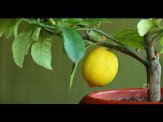 Evde Limon Ağacı Yetiştirmek İster misiniz?