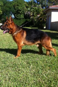 king shepherd dog photo   Hip: SV: HD a-normal (a1) - Elbows: Not known