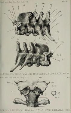 Note sur la presénce d'un rudiment de proatlas sur exemplaire de Hatteria punctata, Gray - BioStor