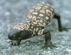 The Gila monster (Heloderma suspectum, ) is a species of venomous lizard native to the southwestern United States and northwestern Mexican state of Sonora. Description from imgarcade.com. I searched for this on bing.com/images