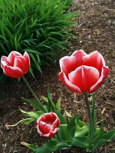 Pink and white tulip - symbol of the Parkinson's disease