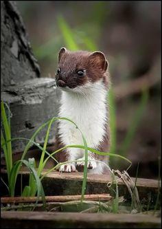 "*""Pop goes the Weasel"" (by Tatiana Serova)"