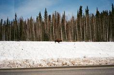 Буйвол на стороне Шоссе Аляски