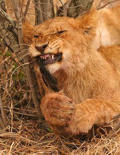 Lion Cub Tugging on a wildebeest mane