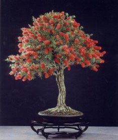 Native Australian Bottlebrush Bonsai… Broom Style… What a Contrast Between T… - Modern Australian Native Garden, Plants, Australian Native Plants, Bonsai Tree, Bonzai Tree, Ikebana, Zen Garden, Bonsai Flower, Miniature Trees