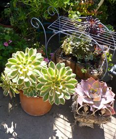 succulents from my back yard