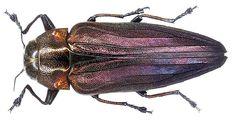 Belionota fulgidicollis