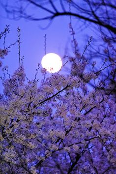 Purple Moon and cherry blossom, sakura pink flower nature eco beautiful places landscape travel natura peisaj Beautiful Moon, Beautiful World, Beautiful Places, Shoot The Moon, Good Night Moon, Beltane, Full Moon, Belle Photo, Night Skies
