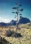 century plant, 1940s color photography in Big Bend (nps.gov)