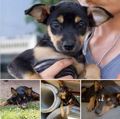 My name is Mariko. I was callously dumped when I was just seven weeks old. Too small to survive such a cruel world on my own, I was brought to the Soi Dog shelter by the kind person who found me. Sadly, I am very shy and nervous of people, which means I need some more time before I can be adopted.  https://www.facebook.com/SoiDogPageInEnglish/posts/1780228158685578