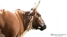 I shot this image in the Free State, Colesberg. www.Karens.co.za #Nguni Cow #cow #mammals #animal #white #africa #free state # photos #photography