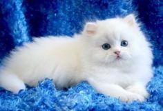 gatos persas blancos de casa