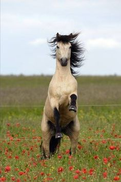 12 Exuberant Horses That Will Brighten Your Day - Wide Open Pets Most Beautiful Horses, All The Pretty Horses, Animals Beautiful, Castiel, Connemara Pony, Majestic Horse, Horse Ranch, Horse Breeds, Pony Breeds