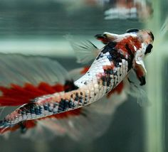 Cool shot of a nice red white & black Marble Betta #fish