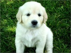 English Cream Golden Retriever