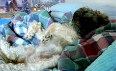 Mollie Lounging in Christmas - winter holiday, precious, cute, blue, adorable, cuddly, blanket, dog, Christmas, pup, canine, lounging, winter, holiday