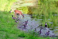 Deer and Canada geese sharing the lake at Lone Elk Park. For more information about Lone Elk Park, go to: http://www.stlouisco.com/ParksandRecreation/ParkPages/LoneElk #stlconature