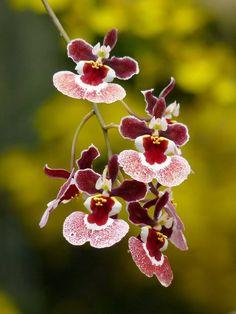 Tolumnia Orchid, Ralph Yagi, 'Jon',