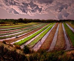 Pathum Thani, near Bangkok, Thailand~ Vegetables Field Texture and Reflection ~ by pattpoom, via Flickr