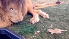 """God bless the people behind saving this old boy! - """"Lion Freed From Lonely Cage Makes An Unlikely New Friend"""""""