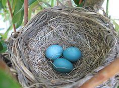 Nature Photography, Wildlife, Robin's Nest, Bird Nest, Robin's Egg Blue, Home Decor, Nursery Art, #nest