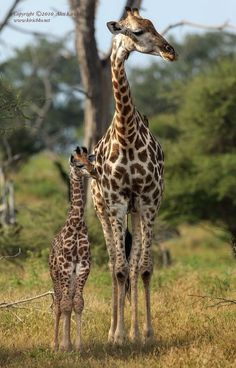 "creatures-alive: "" (via The Family by Alex Kirichko / "" Animals And Pets, Baby Animals, Funny Animals, Cute Animals, Giraffe Pictures, Animal Pictures, African Animals, African Safari, Beautiful Creatures"
