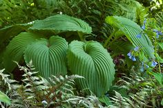 Niagara Falls has enormous 16 inch long leaves with a waxy sheen and pie crusted edges. Deeply impressed veins give the plants as corrugated look which provide a great textural element to the hosta garden. Niagara Falls goes well with gold colored hostas. Hosta Plants, Shade Plants, Garden Plants, Unusual Plants, Cool Plants, Outdoor Plants, Outdoor Gardens, Hosta Varieties, Tropical Garden