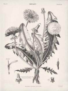 1882 Botanical Drawings Common Dandelion