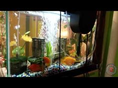 como limpiar tu pecera o acuario 2015 how to clean acuarium in tree stapes 2015 - YouTube