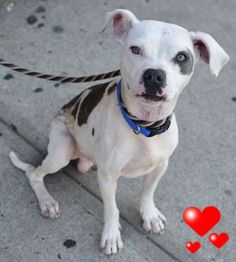 RETURNED 09/17/15 DESTRUCTIV --- SAFE 7-6-2015 --- Brooklyn Center ST VINCENT – A1041538 MALE, WHITE / BROWN, PIT BULL MIX, 1 yr STRAY – STRAY WAIT, NO HOLD Reason STRAY Intake condition EXAM REQ Intake Date 06/26/2015 http://nycdogs.urgentpodr.org/st-vincent-a1041538/