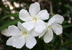 white oleander  | Beauty lies in poison | White Oleander