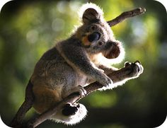 Dreams, Protection, Calm and Connection are just a few lessons and prime symbolic meaning of koala bears. Learn more about koala meaning here! Quokka, Animal Spirit Guides, Spirit Animal, Bear Meaning, Australia Fun Facts, Koala Tattoo, Animal Symbolism, Animal Totems, Animals