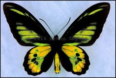 Ornithoptera Rothschildi -Male -Arfak Mtns, West Papua, Indonesia -(5 in wingspan)