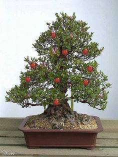 JPB:Bonsai Collection 10 | Fruit Bearing Bonsai...Crabapple