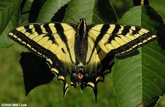 FAMILY Papilionidae (swallowtails and apollos). All BC species are yellow or white with black markings and all our members of the subfamily Papilioninae (swallowtails) have tails on the hind wings while those in the subfamily Parnassiinae (apollos) do not (these characteristics do not hold for the world fauna on the family.  Colour and size are diagnostic adult features.
