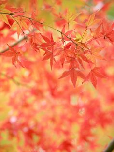 maplelike leaves