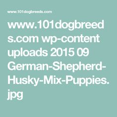 www.101dogbreeds.com wp-content uploads 2015 09 German-Shepherd-Husky-Mix-Puppies.jpg