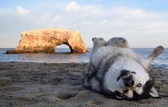 Hello, tummy #beachedwhale #beach #santacruz #naturalbridges #ocean #sunset #goldenhour #malamute #rei1440project #optoutside
