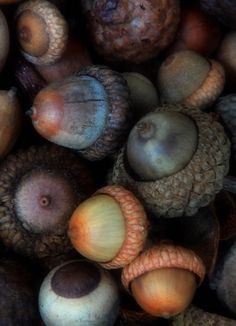 Druids Trees:  #Acorns.