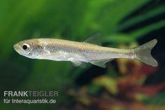 Moderlieschen, Leucaspius delineatus, 3-5 cm (Kaltwasser) Tiere Zierfische Kaltwasserfische