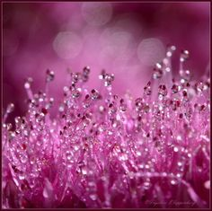 Morning Dew in Pink