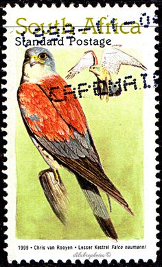 Republic of South Africa.  BIRDS.  LESSER KERSTEL.  Scott 1142  A369, Issued 1999 Oct 4, Litho., Perf. 14  x 14 3/4,  Standard Postage. /ldb.