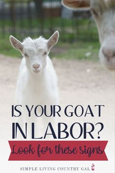 13 signs that will help you know just when your goat will be going into labor. Goat kidding signs I have used to help prepare for kidding season. Breeding Goats, Goat Shelter, Female Goat, Goat Care, Raising Goats, Time Kids, Goat Farming, Baby Goats, Alpacas